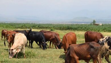 Photo of Minembwe : 285 vaches emportées par les miliciens Maï-maï (Société civile)
