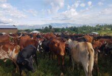 Photo of Uvira : 58 vaches pillées par un groupe armé récupérées par les FARDC